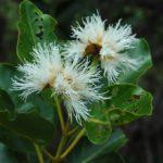 Arillastrum Gummiferum
