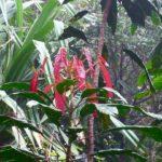 Bocquillonia spicata