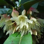 Crossostylis Grandiflora