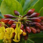 Deplanchea speciosa : Fleurs et boutons