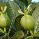 Gardenia aubryi (fruits)