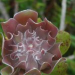 Melaleuca Dawsonii