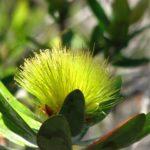 Melaleuca pancheri