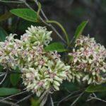 Parsonsia flexuosa