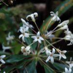 Pittosporum Paniculatum
