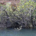 Retrophyllum minor (Bois bouchon)