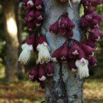 Syzygium Acre