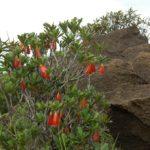 Thiolierea Campanulata ex Bikkia