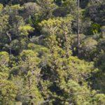 Araucarias Biramulata (massif du Kaala)