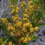 Tristaniopsis calobuxus (sur les hauteurs du canal Woodin)