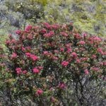 Cuniona lenormandii (vu sur le massif du Boulinda Poya)
