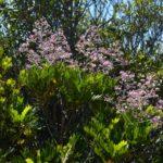 Loxodiscus coriaceus (massif du Boulinda Poya)
