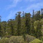 Araucaria montana (massif du Boulinda)