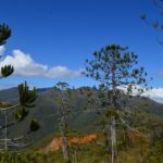 Araucaria Rulei (Pic Poya)
