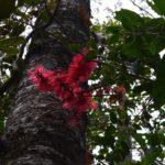 Archidendropsis paivana (Forêt Français Poya)