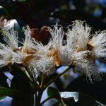 Arillastrum gummiferum (Chêne gomme en fleur décembre 2017 route de Yaté)
