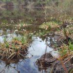 Eriocaulon neocaledonicum (plaine des lacs)