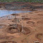 Nids de Tilapias (lac de Yaté)