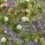 Melaleuca gnidiodes