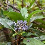 Psychotria poissoniana