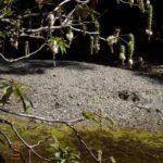 Baringtonia Neocaledonica
