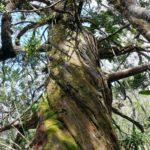 Callitris pancheri (Creek Amos)
