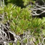 Melaleuca brongniartii