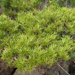 Podocarpus beecherae