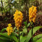 Calanthe ventilabrum (Orchidaceae)