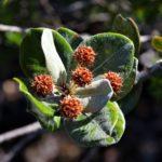 Codia albifrons (Cunoniaceae)