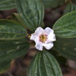 Melastoma malabathricum (Melastomataceae)