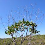 Myodocarpus crassifolius