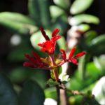 Pancheria billardierei ( Cunoniaceae)