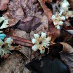 Pycnandra controversa (Sapotaceae)