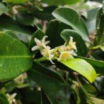 Baloghia Inophylla