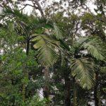 Chambeyronia macrocarpa (Arecaceae)