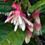 Crossostylis grandiflora (palétuvier de montagne)