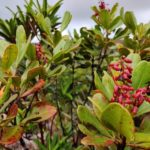 Cunonia deplanchei (Cunoniaceae)