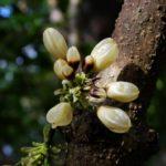 Oxera subverticillata