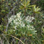 Psychotria Rupicola