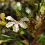 Scaevola macropyrena (Goodeniaceae)