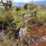 Thelymitra longifolia (Orchidaceae)