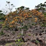 Tristaniopsis Guillainii