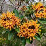 Tristaniopsis guillainii (Myrtaceae)