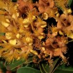 Tristaniopsis Ninndoensis